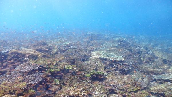 無人島鹿島の斜面にはサンゴが広がる場所も。そんなところにはクロホシイシモチなど、小魚の群れがあつまります。
