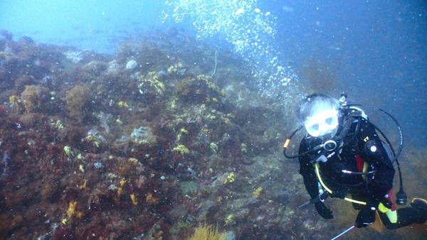 横島二号地の水深20m程の場所までも、ソフトコーラルの林に包まれています。尾根の先端には、イサキの群れが集まったり、回遊魚が回ってきます。