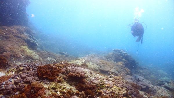 浅い場所も同じようにソフトコーラルの林。愛媛にはこんなに恵まれたダイビングポイントがあるのです。