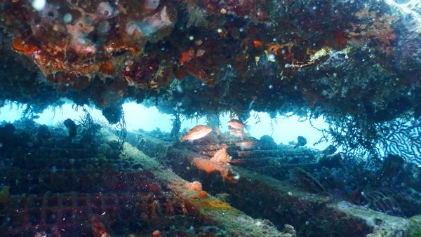 漁礁の中をのぞいてみたら、どこにでもいるキタマクラ、が大量にいました。