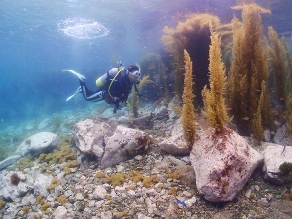 ホンダワラ?ガラモと呼ばれる海草が5月すぎると生え始めます。写真のダイバーのように、潜って遊ぶととても楽しい。