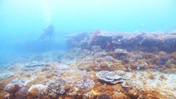 横島断層は広い範囲でサンゴが広がるポイント。サンゴ保全活動の活動範囲にしています。