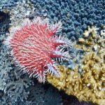 サンゴを食べるオニヒトデ