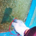 作業ダイビング、ガイヤナ窓掃除の様子