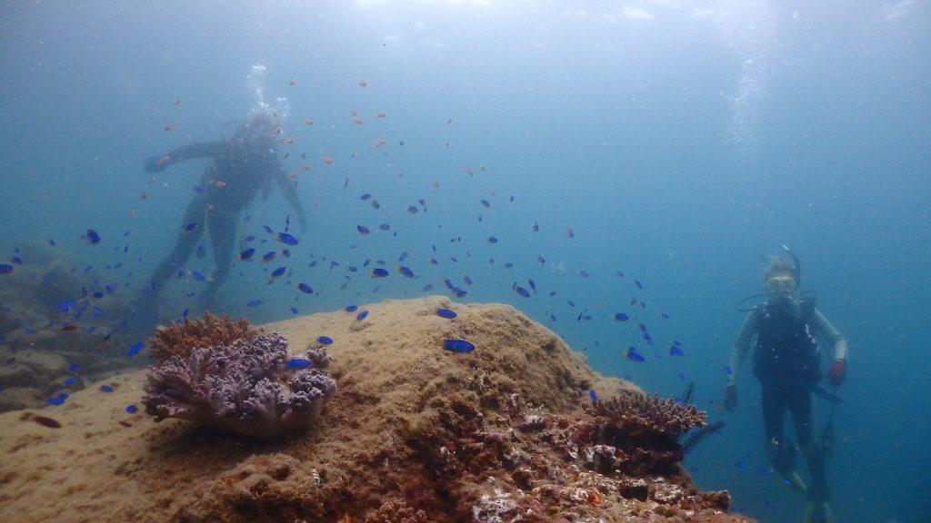 浅い水深でもソラスズメダイなどの魚は沢山。岩に付着したサンゴにはたくさんの魚が集まっています。