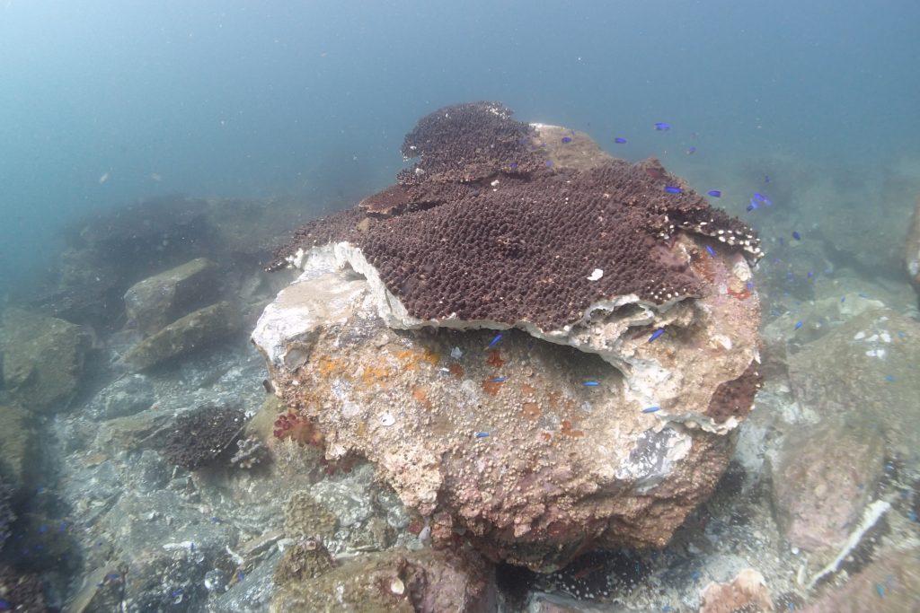 台風の波は力がとても強いため、水深5m程の大きなサンゴは割れてしまう
