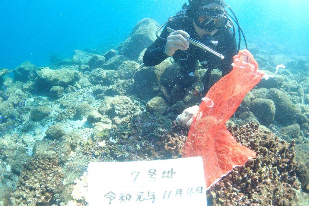 サンゴの間には指が入らないため、水中へピンセットを持ち込んで貝を取り除きます