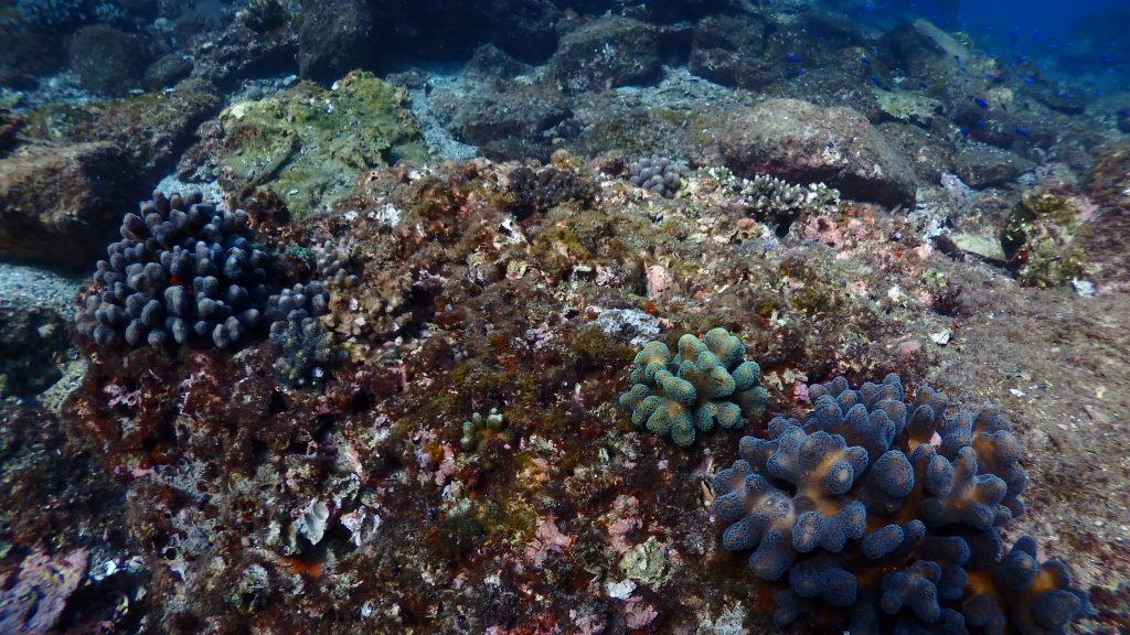サンゴの加入が、サンゴが死んだ場所に生え始めている