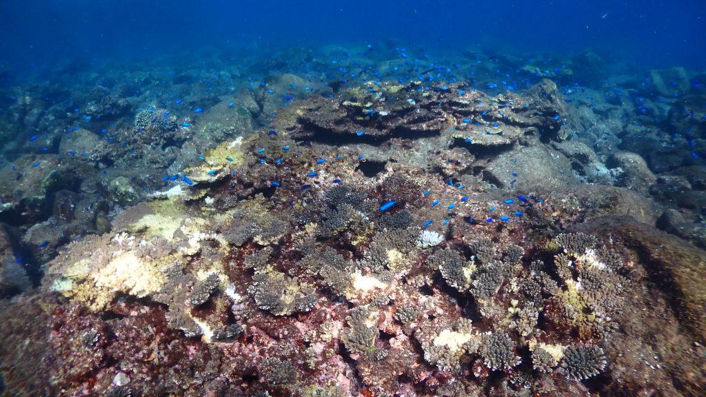 所々、サンゴが食べられた痕が白くなっている。