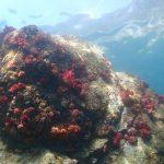 海中から見上げた水面が綺麗な、サンゴ群生豊かな岩。