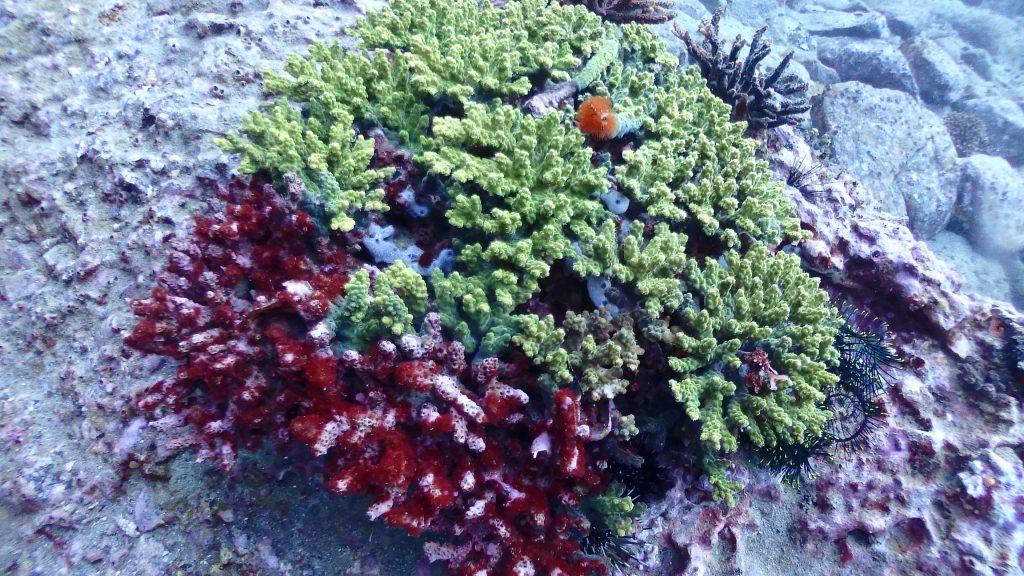 古いサンゴの上に新しいサンゴが成長しています