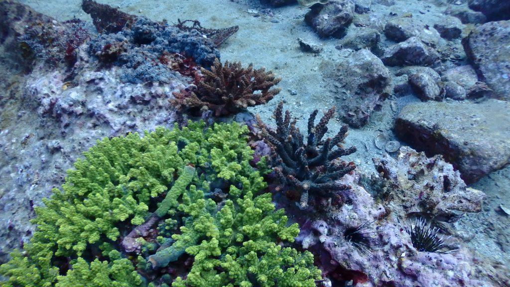 違う種類のサンゴが近くで成長中