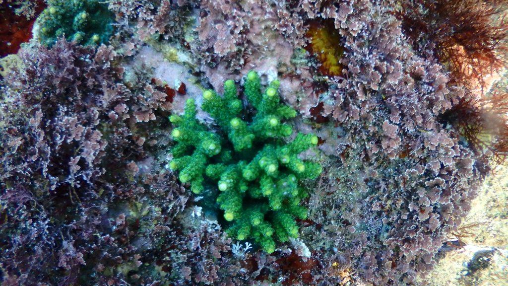 緑色のサンゴが増えてきた