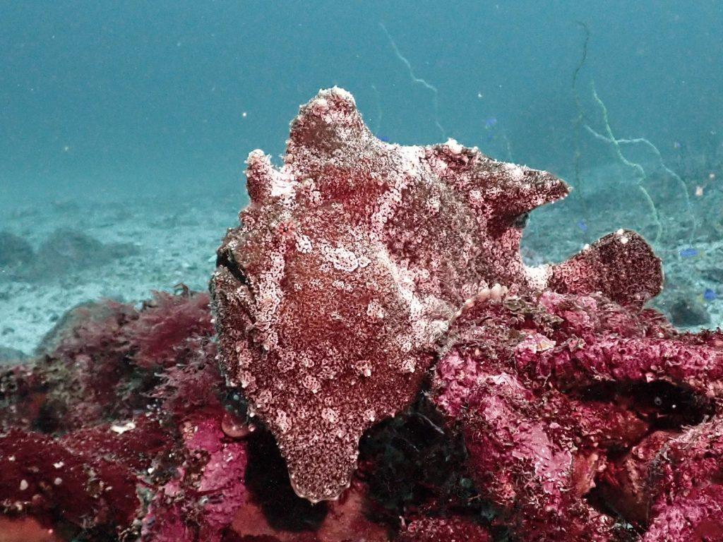 暗い色をしたオオモンカエルアンコウ。エサを待っているのか、岩の上でぼーっとしています。
