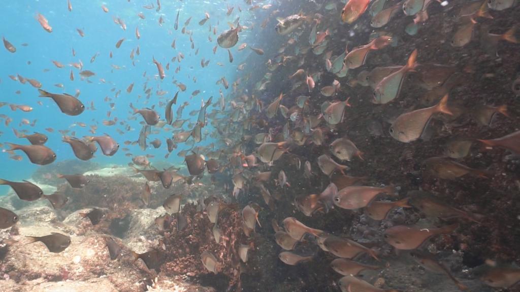 桟橋の周辺にはとても沢山の魚が集まります。写真のミナミハタンポは100匹以上はいるでしょうか。