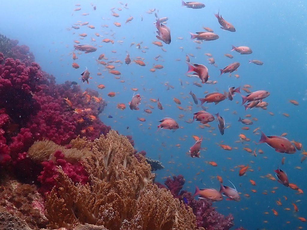 サンゴ群生が広がる斜面を斜め上方向から撮影。サンゴの上に集まるキンギョハナダイを良く見ると、模様の違う個体が混じっています。鮮やかな色を持つ個体の方がオスの金魚ハナダイ。群れの中から性転換をする魚なのですよ。