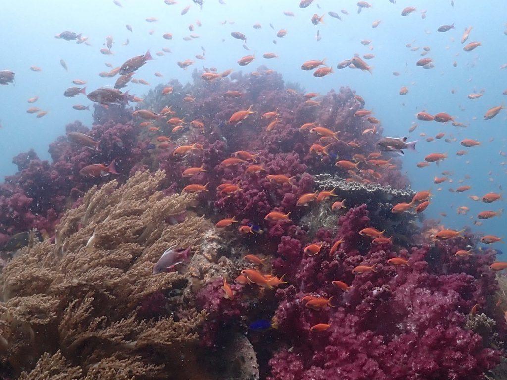 浅い場所に集まるキンギョハナダイ。水中の浅い場所には太陽の光が届く為とても綺麗です。