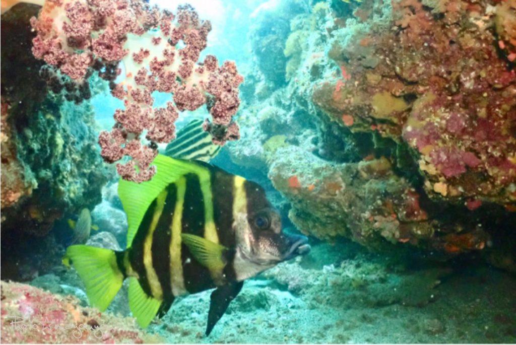 体の大きなテングダイはダイビングで人気の魚です。
