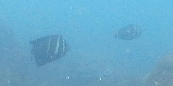 たまに現れるレア物、この日はヒレナガハギの成魚が二匹のペアで泳いでいます。