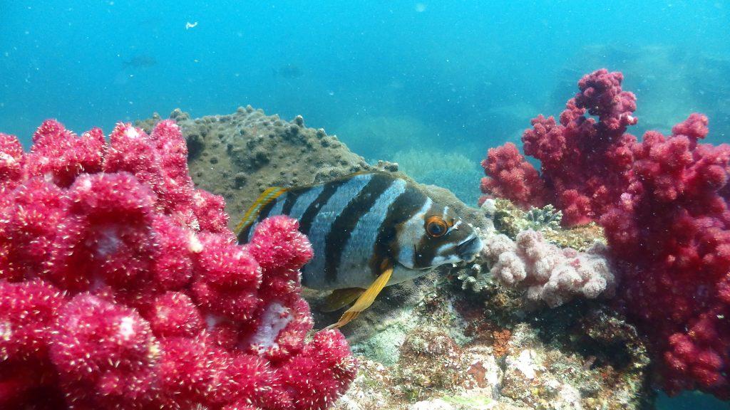 白と黄色のストライプ模様が特徴のタカノハダイが、赤いサンゴの合間で休んでいました。近寄っても全然逃げない個体は珍しいですね。