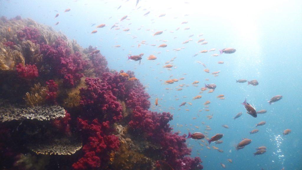 赤いサンゴ「オオトゲトサカ」の上に集まるオレンジの魚は「キンギョハナダイ」です。赤とオレンジが作るコントラストがとてもきれいな為、水中写真を撮影するダイバーに人気がある場所。