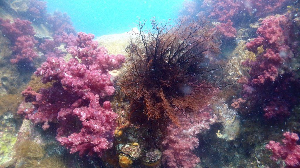綺麗な赤いサンゴが群生する岩の上で、大きく触手を広げたオキノテヅルモヅル。流れに向かってこの触手を広げることで、プランクトンなどを捕食して生き延びています。