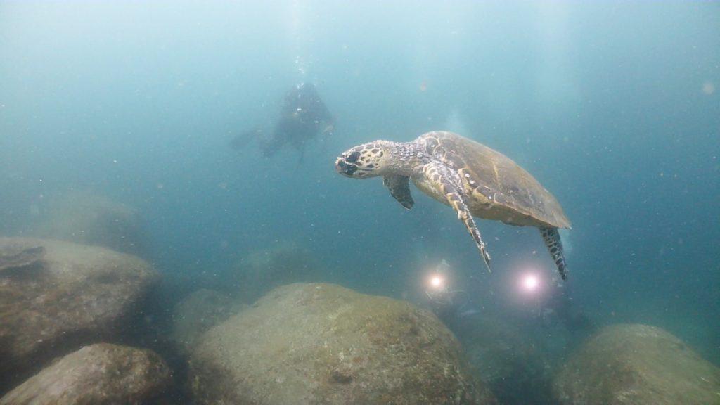 ダイビングの最後、安全停止を行う前には、カメが一緒に泳いでくれました。
