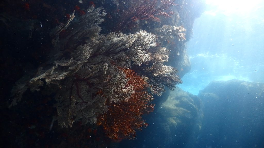 浅い場所へ生息していたイソバナをワイドに撮る。水面も同時に映り込み、コントラストがとても綺麗。