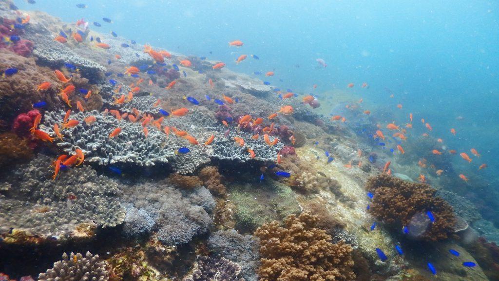 国立公園に指定された横島は、海底がサンゴ群生で覆いつくされている。硬いサンゴとやわらかいサンゴが混在していることが特徴的で、その上にはオレンジや青色の魚が群れを作って生活しています。