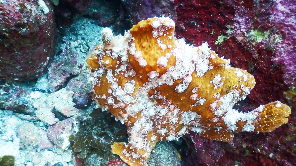 水底に這いつくばる大きな生き物、オレンジ色のオオモンカエルアンコウ。