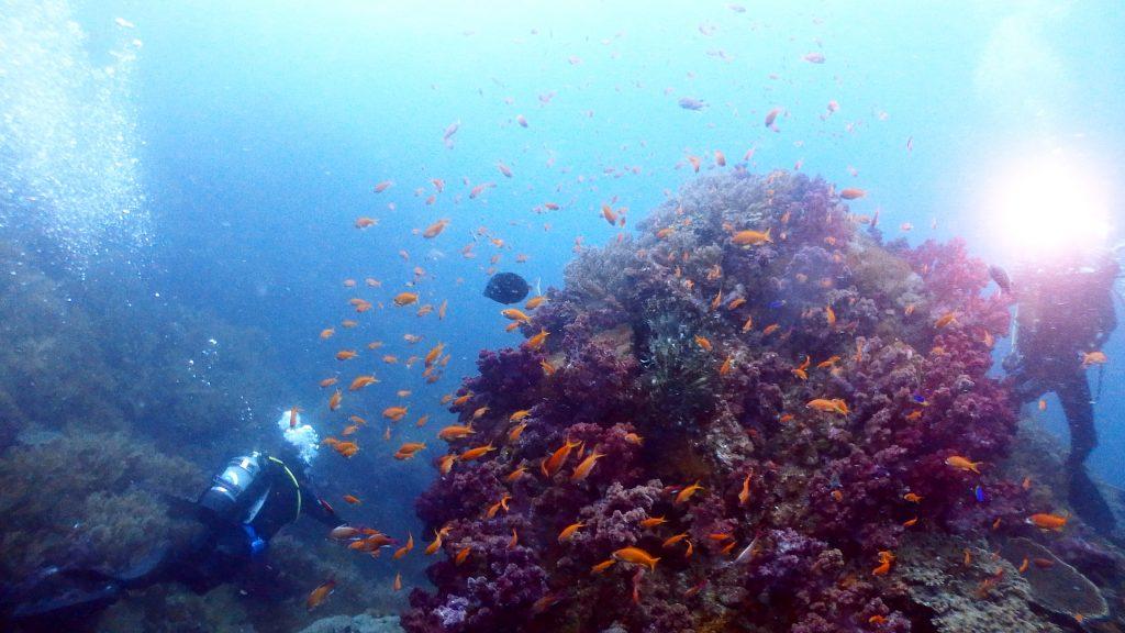 小横島の風景を楽しむダイバー二名。一人は丘を埋め尽くすサンゴの上に泳ぐキンギョハナダイを写真撮影。もう一人は丘の左下方向へ泳いで抜けていく。
