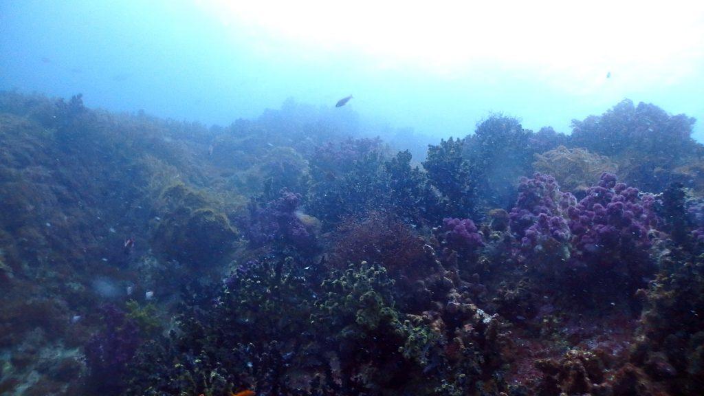 この島の斜面は全てカラフルなサンゴで覆いつくされている。赤や緑、ピンク色などのサンゴが沢山群生している。