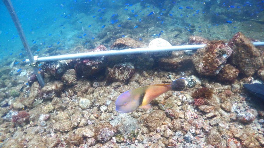 作業をしていると寄ってくるカラフルな魚「イラ」。頭が紫で胴体がオレンジと特徴的な魚です。岩の裏に住み着いている貝類が大好物なので、それを探しに近くでうろうろしています