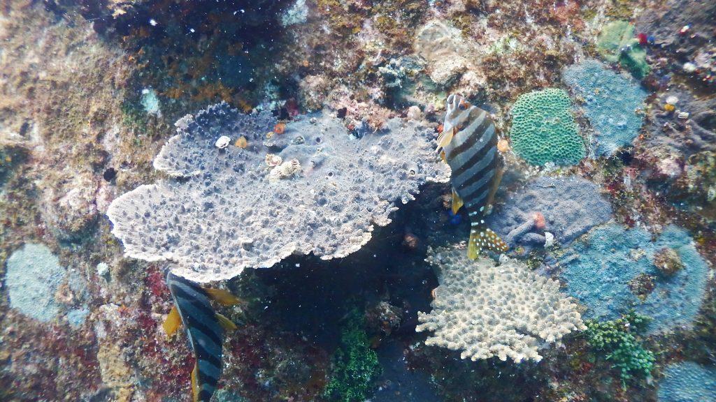 サンゴのそばで寝ている「タカノハダイ」。この魚、なぜが建て向きで寝ていることが多く、この日は二匹で建て向きに寝ていました。