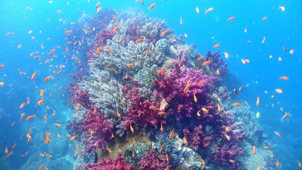 赤色のオオトゲトサカなど、色鮮やかなサンゴ群生が広がる海底に、オレンジ色のキンギョハナダイが沢山の群れいを作って泳ぐ様子は、竜宮城のよう。