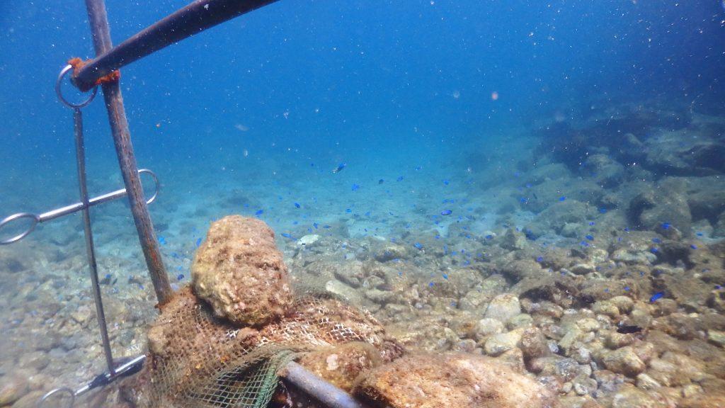 シーウォーカーで一人づつ水中へ入る際には、腰よりも少し高めに設置された2m程の長さの手すりを持って待って待ちます。そこからはすでに、青色の魚ソラスズメダイがとても綺麗に群れています。
