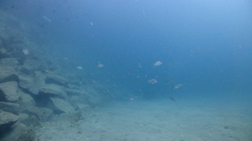 桟橋周りには真鯛の幼魚が200匹以上の群れを作っていました。