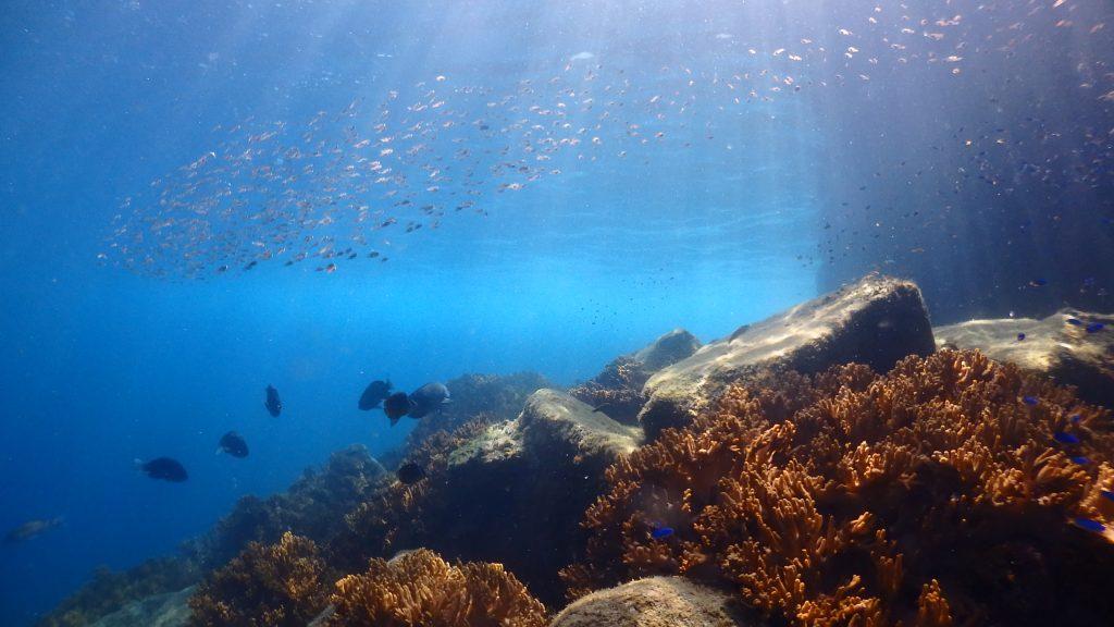 海の水が青々としている鹿島桟橋の水中風景。ソフトコーラルの上にはとても沢山の魚が集まっている様子が遠くからでも観察できます。