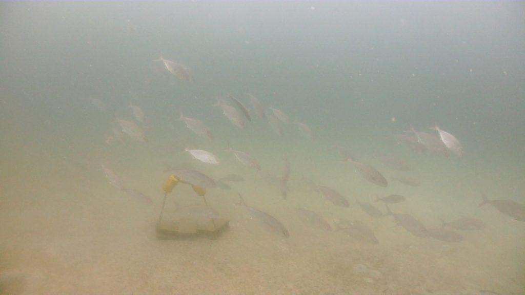 講習中に突然現れる魚の群れ。この日はカンパチが沢山群れていました。そばにいたきびなごを食べようと狙っている様子です