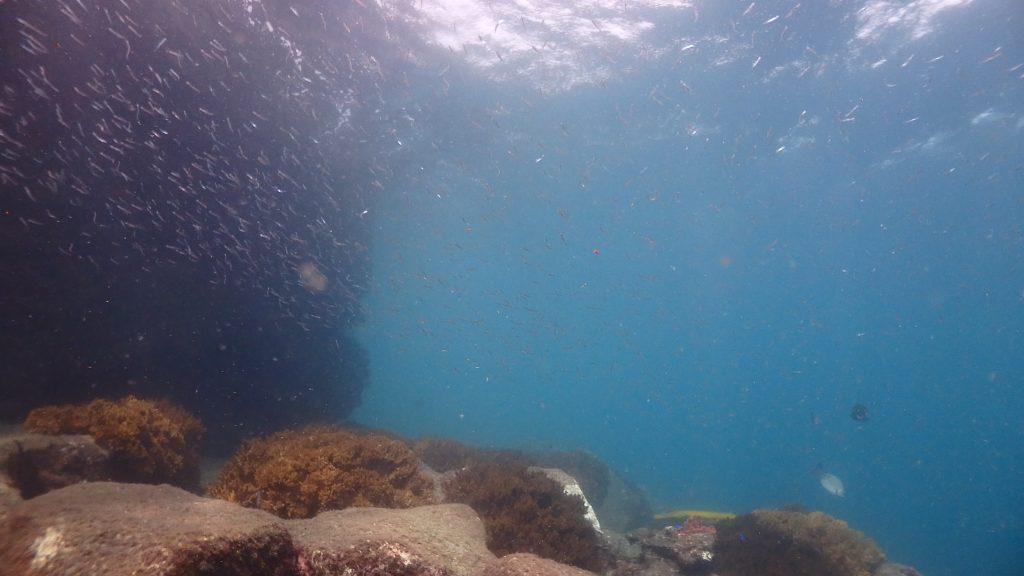 濁っていても鹿島桟橋はとても綺麗で、いつもたくさんの魚の群れが集まります。