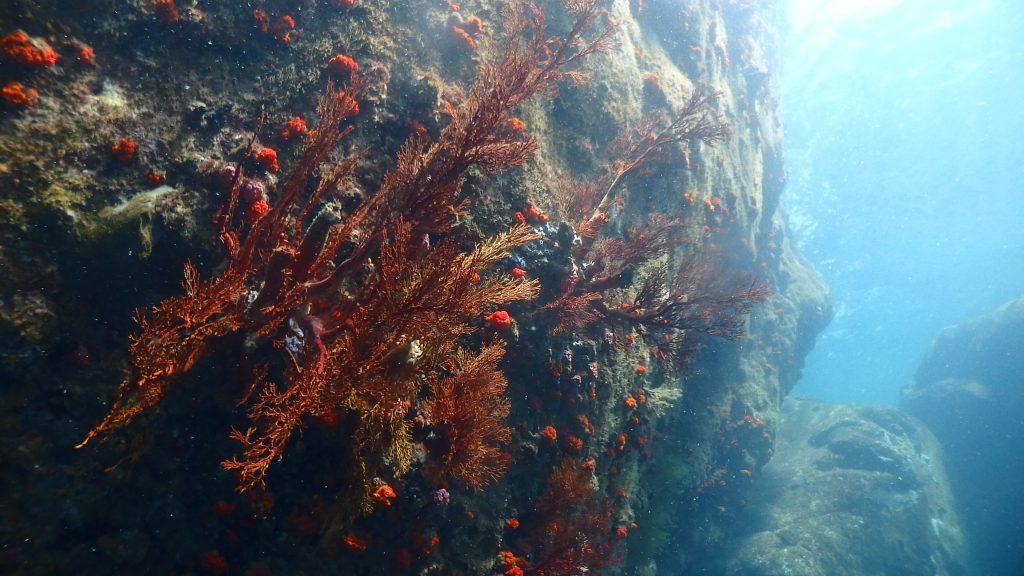 大岩に鮮やかな赤色に映えるイソバナの群生は人の目を飽きさせません。