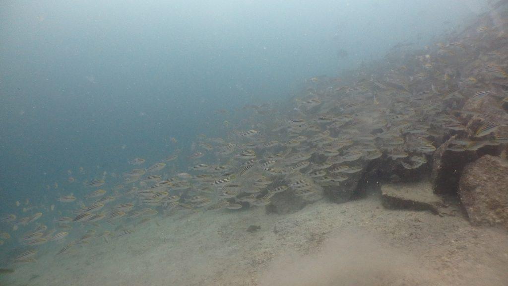 急斜面に沿って、先ほどのイサキの群れが延々と連なって泳いでいます