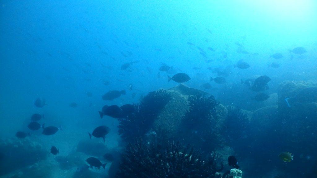 イサキの群れをバックに、手前にはニザダイやグレなど多くの魚が群れを作って生活しています。