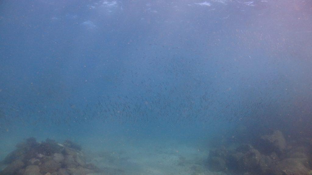 シーウォーカー開催場所付近にはきびなごが沢山集まります。浅い場所なので水面も見えて、より一層綺麗に写ります。