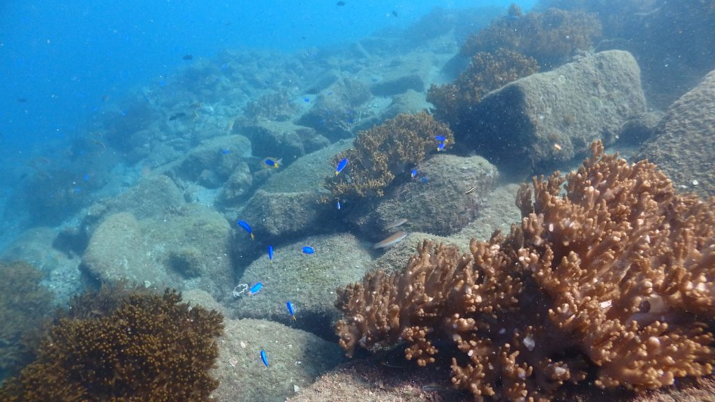 鹿島桟橋の先端は大きな岩が沢山転がっているせいで、魚たちの隠れ家になっていますが、その上にはソフトコーラルが沢山群生しています。