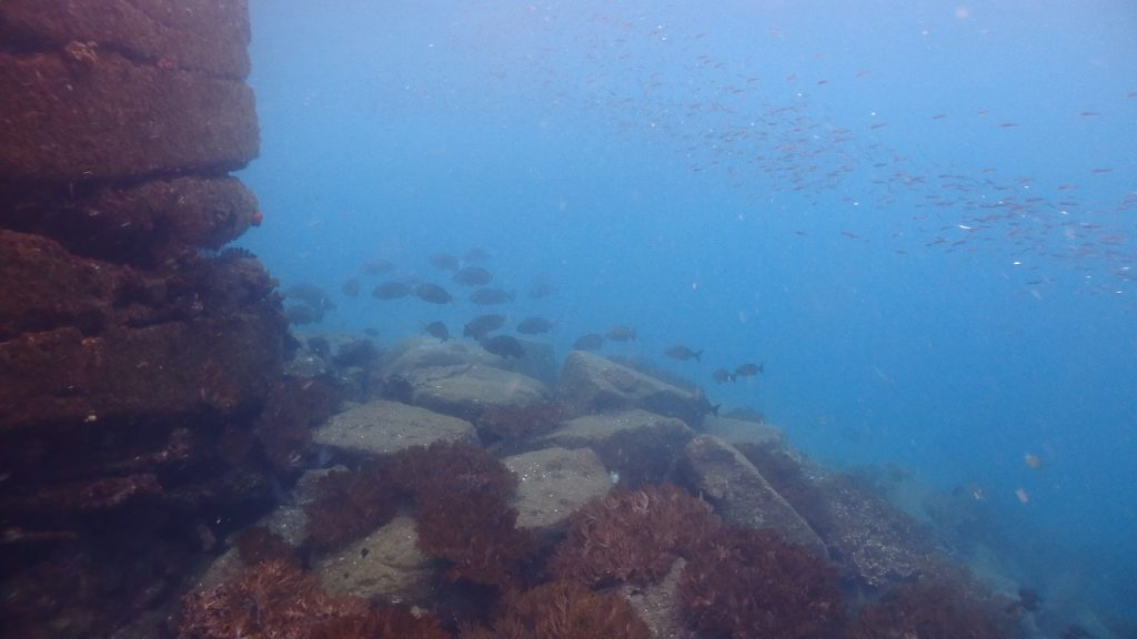 以前からご紹介していますが、シーウォーカーが行われる鹿島の桟橋周辺は魚が沢山集まります。写真中央にはグレの群れが泳いでいて、浅い水面付近はきびなごの群れで埋め尽くされています。