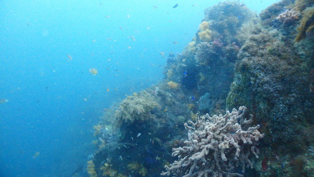 横島2号地は断崖絶壁を右手に進む、とても楽しいダイビングポイントです。岩は全てサンゴに覆われていて、沢山の魚の住処になっているので、移動最中も全く飽きません。