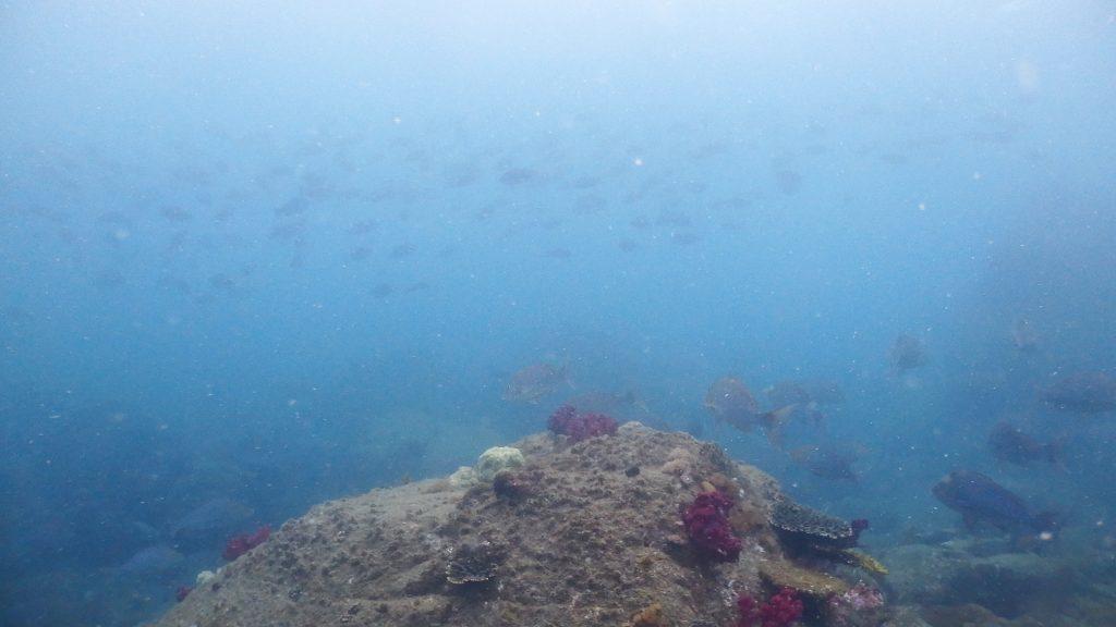 水面方向を見上げれば、グレの群れ。群れの大きさがとても大きく、通常のダイビングポイントで見れる量の2~4倍はいそうです。